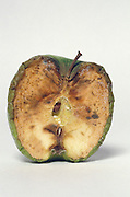 cross section of decomposing apple