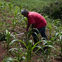 Marcos, a Q'eqchi man cleans his corn field of weeds using a machete. Concepción Actelá, Alta Verapaz.