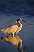 Great Egret fishing at dusk.