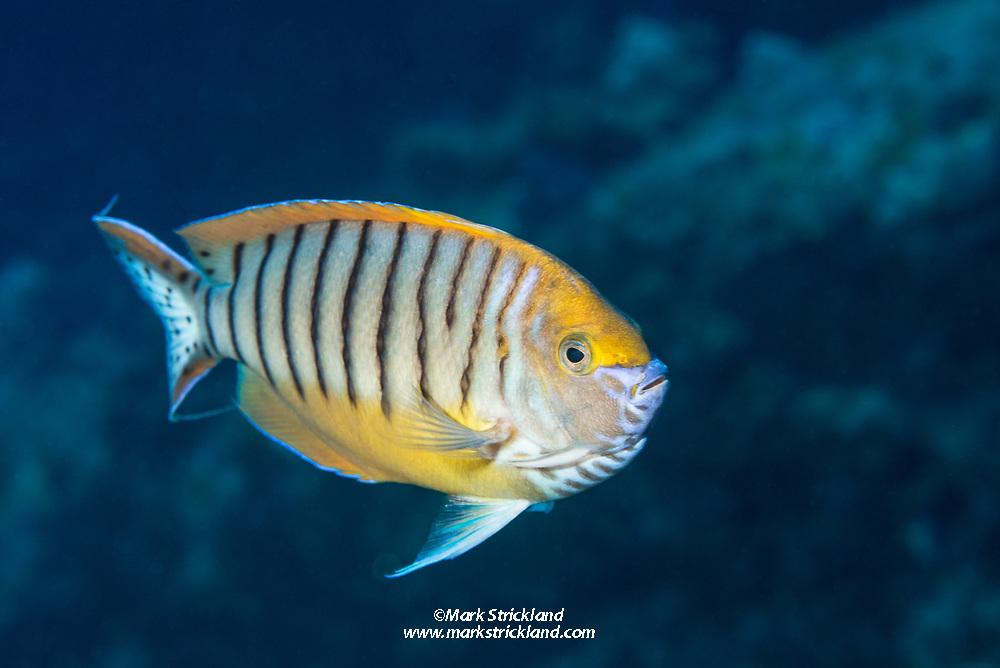 Male Half-banded Angelfish, Genicanthus semicinctus, Ball's Pyramid, Lord Howe Island, Australia, Tasman Sea, Pacific Ocean