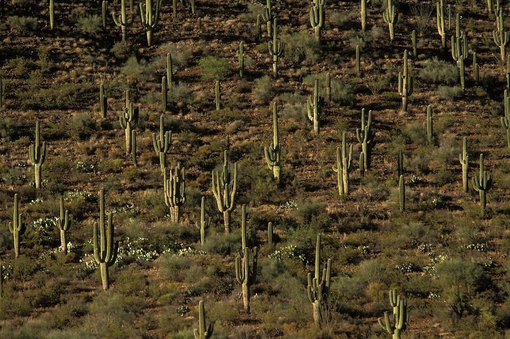 Saguaro cactuses on the San Carlos Apache Indian Reservation in Arizona, USA.