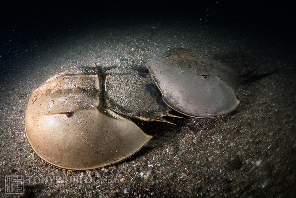 This is a pair of tri-spine horseshoe crabs (Tachypleus tridentatus) walking across the ocean bottom in shallow water just prior to spawning. The smaller male uses modified legs (pedipalps) to grasp onto the female in front. The male stays attached in this manner throughout the reproductive season, going wherever the female goes.<br /> <br /> Although these animals are called crabs, they are not members of the Subphylum Crustacea. They belong to a separate Subphylum—Chelicerata—which also comprises sea spiders, arachnids, and several extinct lineages such as sea scorpions. The earliest known fossils of horseshoe crabs date back 450 million years ago, qualifying these animals as living fossils, as they have remained largely unchanged.<br /> <br /> Tachypleus tridentatus is the largest of the four living species of these marine arthropods, all of which are endangered.<br /> <br /> Though habitat loss and overharvesting of these animals for food are primary contributors to the population decline of horseshoe crabs, the biomedical industry is also a major factor. Horseshoe crabs are bled for their amoebocytes (akin to white blood cells), which are used to derive an extract that reacts in the presence endotoxin lipopolysaccharide, which is found in the membranes of gram-negative bacteria. Estimates suggest that between three and 30% of the animals die as a result. There have also been suggestions that taking up to a third of each animal's blood adversely affects their ability to undertake vital functions, such as procreation, even if the animals survive.<br /> <br /> Synthetic substitute tests have been available since 2003. The biomedical industry has however been reluctant to discontinue the practice of bleeding live animals.