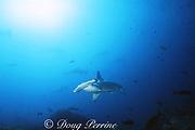 scalloped hammerhead sharks, Sphyrna lewini, Endangered Species, Darwin Island, Galapagos Marine Reserve, Galapagos, Ecuador ( Eastern Pacific Ocean )