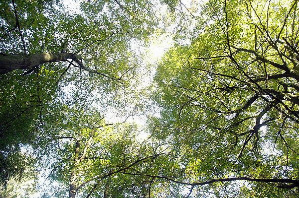 Nederland, Ubbergen, 13-10-2010Zicht van onderaf van de kruin, kruinen van een boom, bomen, in de vroege herfst. Blaadjes in de herfst.Foto: Flip Franssen/Hollandse Hoogte