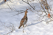 Ruffed grouse standing in snowy winter habitat.