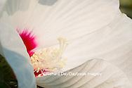 63899-05313 Rose Mallow (Hibiscus lasiocarpos)) in wetland, Marion Co., IL