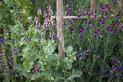 Linaria maroccana 'Licilia Azure' (Toadflax) with Linaria, Papaver somniferum (Opium poppy) and Lathyrus odoratus 'Matucana' (Sweet pea)