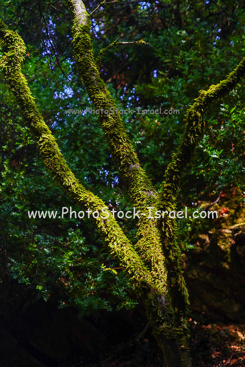 Dense forest on the Greek Island of Cephalonia, Ionian Sea, Greece