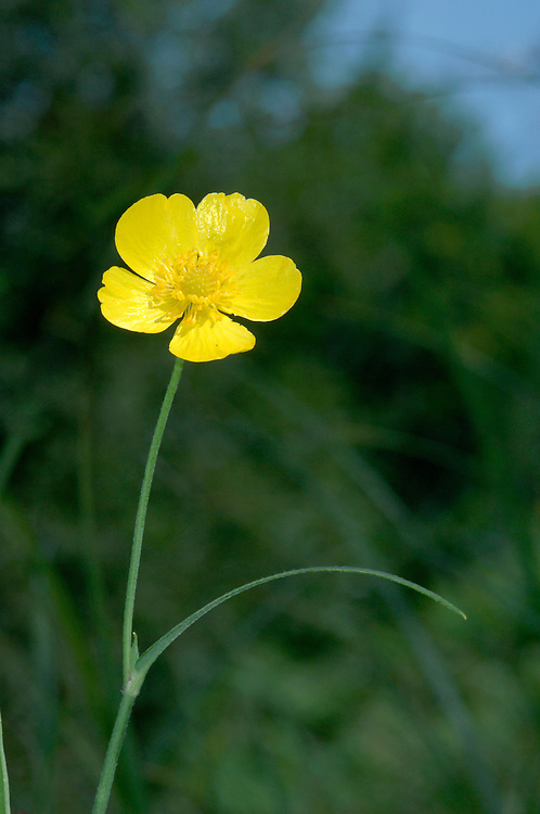 GREATER SPEARWORT Ranunculus lingua (Ranunculaceae) Height to 1m. Robust and upright perennial of fens and the shallow margins of ponds and lakes. Plant has long runners. FLOWERS are 20-40mm across with 5 yellow petals; borne on furrowed stalks (Jun-Sep). FRUITS are rough and winged, with a curved beak. LEAVES are narrow, 25cm long and sometimes toothed. STATUS-Widespread but local.