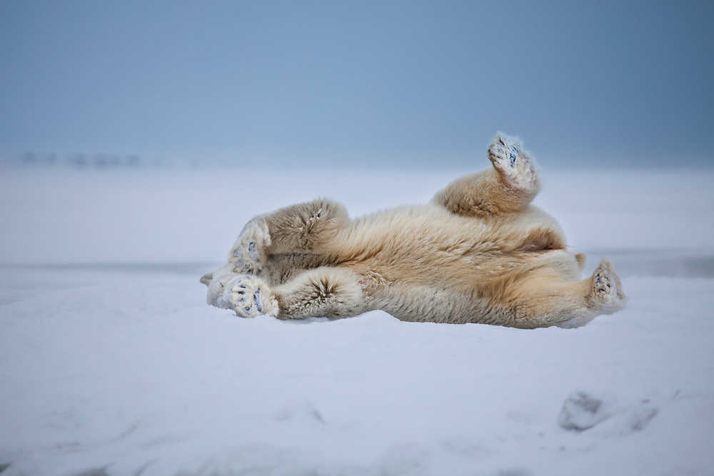 An adult female polar bear takes a break from searching for food, to roll in the snow on the ice edge of the Beaufort Sea coast in ANWR, Alaska, during early winter