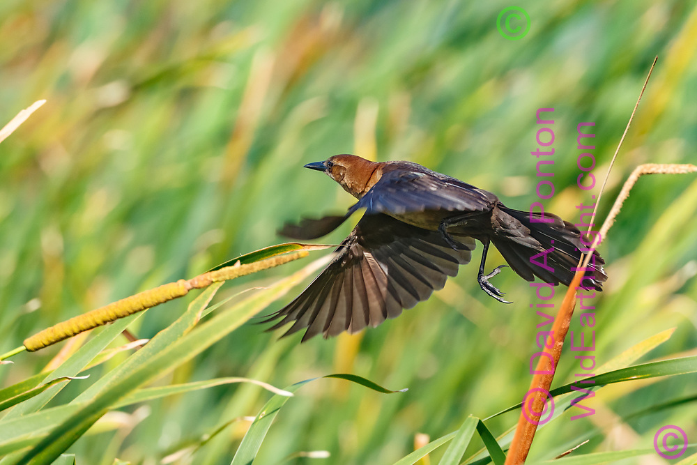 Female boat-tailed grackle flying through cattails in wetland, © David A. Ponton