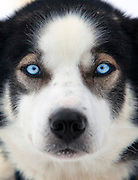 The clear blue eyes of an Alaskan Husky, Karasjok, Finnmark region, northern Norway