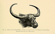 Head of a male Indian Buffalo. From a specimen killed by the Maharaja of Kuch Behar. illustration From the book ' Wild oxen, sheep & goats of all lands, living and extinct ' by Richard Lydekker (1849-1915) Published in 1898 by Rowland Ward, London