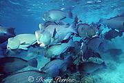 giant bumphead parrotfish, Bolbometopon muricatum,  Sipadan Island, Sabah, Borneo, Malaysia ( Celebes Sea, Western Pacific Ocean )