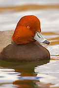 Redhead Duck, Aythya americana, male, sunset reflection on water, Lakewood, Colorado aquatic-birds close-ups details fowl free independence natural-world ornithology untamed water waterfowl web-footed wild Zoology