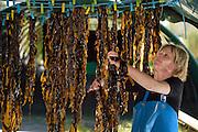 Sea-farmers are growing wakame (Undaria pinnatifida) in France. The brown algae is originally nativ in coastal areas of Japan, Korea, and China. Roscoff, France | Wakame (Undaria pinnatifida) ist eine marine Braunalge ursprünglich aus Japan.  In der Bretagne wird die Alge an Seilen kultiviert. Ist die Alge groß genug wird sie in überdachten Hallen zum trocknen aufgehängt.  Roscoff, Frankreich  Firma: BIOCEAN Contact : M. Patrick Podeur