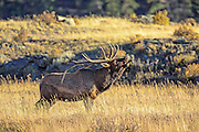 Rocky Mountain Elk Bugling in autumn habitat