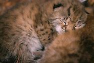 Wild Eurasian Lynx kittens, Lynx lynx, Stora Sjöfallet National Park, Laponia World Heritage Area, Lapland, Sweden