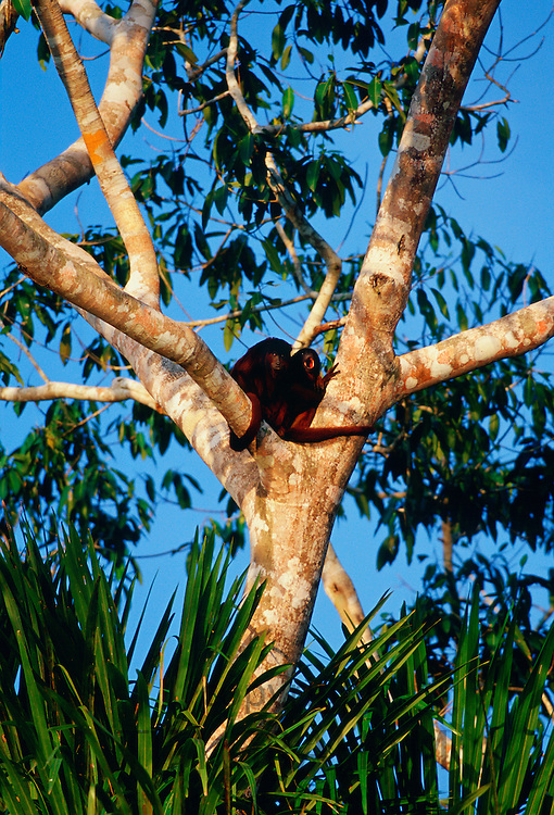 Red Howler monkeys in the fork of a tree at Lake Sandoval, Peruvian Rainforest, South America