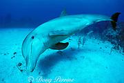 bottlenose dolphin, Tursiops truncatus, Anthony's Key Resort, Roatan, Bay Islands, Honduras ( Caribbean Sea )