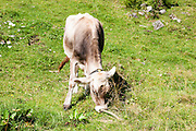 Young calf grazing. Photographed in Tirol, Austria