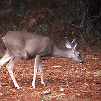 USA, California, Monterey. Deer of Monterey Peninsula, grazing along 17-Mile Drive.