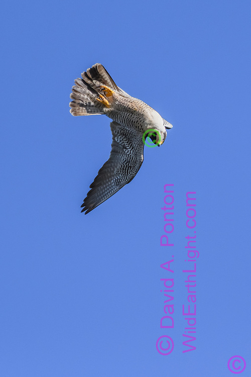 Peregrine falcon rolls over to convert forward speed to diving, quickly accelerating to overtake prey, © David A. Ponton