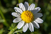 Matricaria, a genus of flower in the Chamomile tribe.