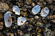 Several empty shells, most prominently oysters, lay among barnacle-covered rocks on the beach at Birch Bay State Park in Birch Bay, Washington.
