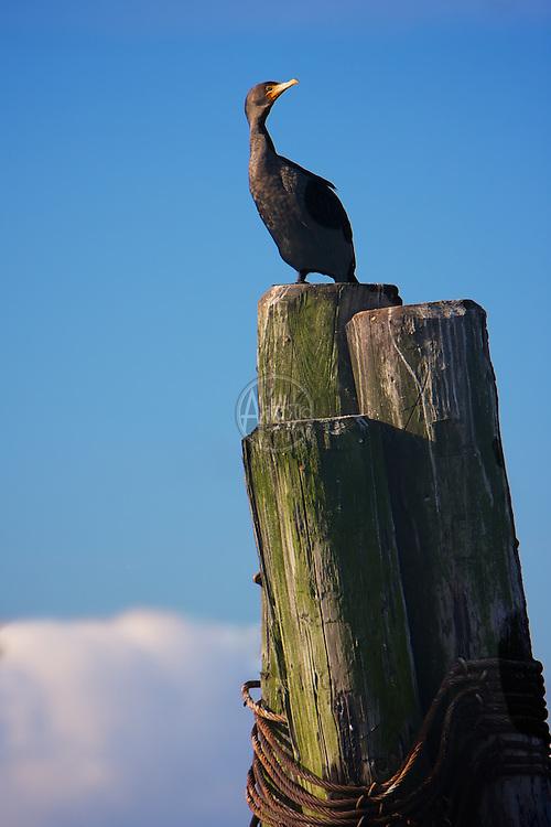 Birds of 2013: Double Crested Cormorant in Elliott Bay.