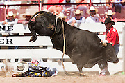 Bullfighter Dusty Tuckness is stomped by an angry bull during the Bull Riding finals at the Cheyenne Frontier Days rodeo in Frontier Park Arena July 26, 2015 in Cheyenne, Wyoming. Frontier Days celebrates the cowboy traditions of the west with a rodeo, parade and fair.