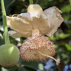 Flor e fruto imaturo (múcua ainda verde) de embondeiro. Bengo. Angola