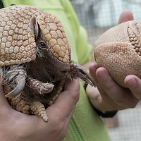 Three-banded armadillo (Tolypeutes Matacus) mother and four weeks old daughter are seen in Zoo Budapest and Botanical Garden in Budapest, Hungary on May 3, 2019. ATTILA VOLGYI