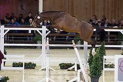 084, Dejavu De Laume<br /> BWP Hengsten keuring Koningshooikt 2015<br /> © Hippo Foto - Dirk Caremans<br /> 23/01/16