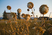 Dried flowers at sunset by the road in the outskirts of Victor, Idaho.