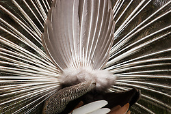 peafowl or peacock, full plummage from rear. (Photo by Alan Look)