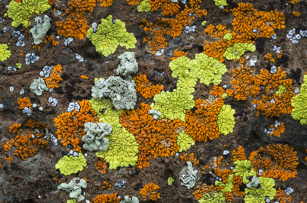 Multi-colored lichens on basalt rock, Columbia Plateau, Oregon.