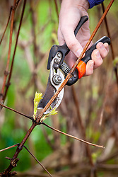 Pruning an herbaceous clematis with secateurs in spring. Cutting just above a bud.