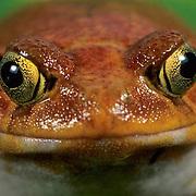 Tomato Frog, (Dyscophus insularis) Madagascar. Captive Animal.