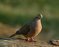 Mourning Dove. Image taken with a Nikon D5 camera and 80-400 mm VRII lens (ISO 200, 400 mm, f/5.6, 1/400 sec).