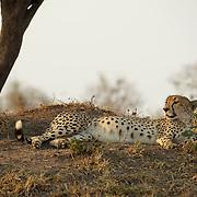 Cheetah, South Africa.