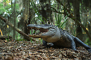 American Alligator (Alligator mississippiensis) in maritime forest<br /> Little St Simon's Island, Barrier Islands, Georgia<br /> USA<br /> RANGE: Wetlands. Native to Southern United States