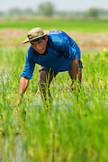 """15 NOVEMBER 2012 - PATHUM THANI, PATHUM THANI, THAILAND: A farmer transplants baby rice in a field near Pathum Thani. The Thai government under Prime Minister Yingluck Shinawatra has launched an expansive price support """"scheme"""" for rice farmers. The government is buying rice from farmers and warehousing it until world rice prices increase. Rice farmers, the backbone of rural Thailand, like the plan, but exporters do not because they are afraid Thailand is losing its position as the world's #1 rice exporter to Vietnam, which has significantly improved the quality and quantity of its rice. India is also exporting more and more of its rice. The stockpiling of rice is also leading to a shortage of suitable warehouse space. The Prime Minister and her government face a censure debate and possible no confidence vote later this month that could end the scheme or bring down the government.    PHOTO BY JACK KURTZ"""