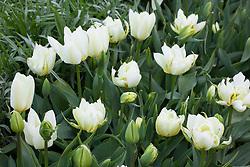 Tulipa 'Exotic Emperor' and 'Purissima'