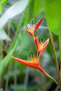 Heliconia, Tropical Gardens of Maui, Iao Valley, Maui, Hawaii