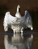 Trumpeter swan in morning light Mammoth Hot Springs - Swan Lake
