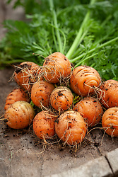 Carrot 'Parabell' freshly picked on a wooden bench - Daucus carota 'Parabell' AGM