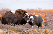 Alaska. Muskox (Ovibos moschatus) cow and calf gthering together for protection from predators, during the autumn breeding season on the Seward Peninsula, outside of Nome.