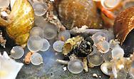 Lake Whitefish Eggs<br /> <br /> Paul Vecsei/Engbretson Underwater Photography