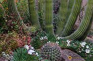 Spring floral deset gardens at the Arizona Sonoran Desert Museum in Tucson, Arizona, USA